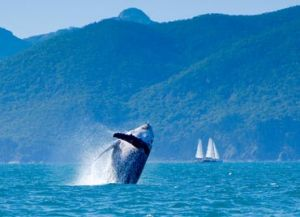 Whale in the Whitsundays
