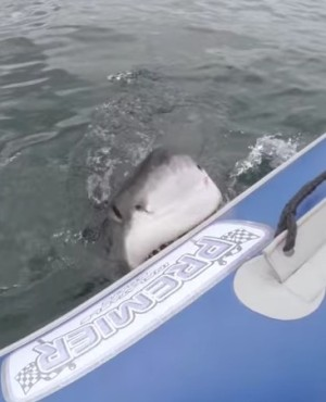 Great White Shark Attacks Inflatable Boat